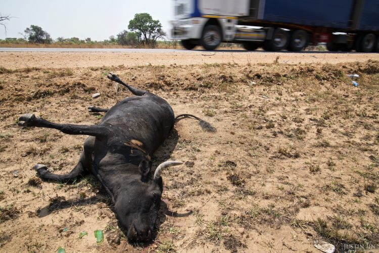 A cattle lays dead on the side of the highway in Masvingo Province, Zimbabwe, after probably being hit by a car. Poor resources allocation means roads are narrow, potholed and mostly unlit in Zimbabwe. Drought in southern Africa is making things worse, devastating communities in Zimbabwe, leaving 4 million people urgently in need of food aid. The government declared a state of emergency,. Here in Masvingo Province, the country's hardest hit province, vegetation has wilted, livestock is dying, and people are at serious risk of famine. Pictures shot by Justin Jin